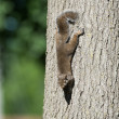 Eastern gray squirrel on a tree — Stock Photo