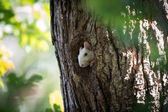 White Squirrel peeking out of hole — Stock Photo
