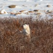 Stock Photo: Polar bear cub