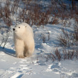 Cute polar bear cub — Stock Photo