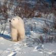 Cute polar bear cub — Stockfoto