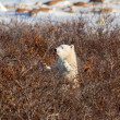 Polar bear cub — Stock Photo #37249553