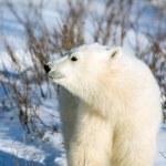 Cute polar bear cub — Stock Photo #37249779