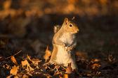 Eastern Gray Squirrel — Стоковое фото