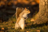 Eastern Gray Squirrel — Stock Photo
