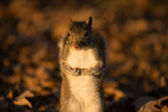 Eastern Gray Squirrel — Foto Stock