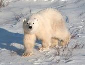 かわいいシロクマのカブ — ストック写真