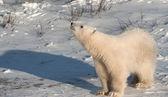 Cucciolo di orso polare carino — Foto Stock