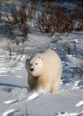 Cute polar bear cub — Zdjęcie stockowe