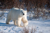 Large female polar bear — 图库照片