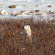 Polar bear cub — Stock Photo #37602007
