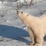 Cute polar bear cub — Stock Photo