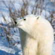 Stock Photo: Cute polar bear cub