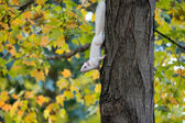 White squirrel and fall — Stock Photo