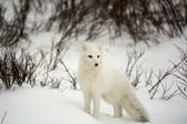 Raposa do ártico — Fotografia Stock