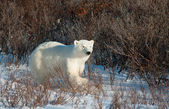 Large female polar bear — Foto Stock