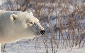 Large female polar bear — Stock Photo