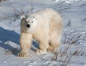 Schattige ijsbeer cub — Stockfoto