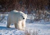 Grote vrouwelijke ijsbeer — Stockfoto