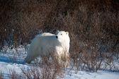 Büyük dişi kutup ayısı — Stok fotoğraf