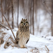 Stock Photo: Short Eared Owl