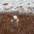 Polar bear cub — Stock Photo