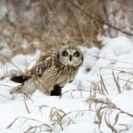 Short Eared Owl — Stock Photo #38575055