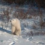 Cute polar bear cub — Stock Photo #38575209