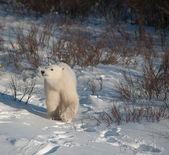 Cute polar bear cub — Стоковое фото