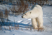 Large female polar bear — Stock Photo