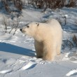 Cute polar bear cub — ストック写真