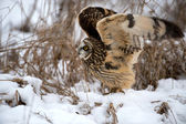 Short Eared Owl — Stock Photo