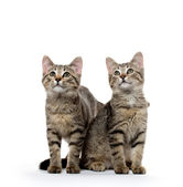 Two tabby kittens — Stock Photo