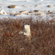 Polar bear cub — Stock Photo #41762291