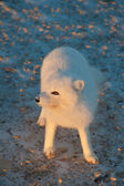 Arctic fox in the snow — Stock Photo
