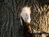 Esquilo branco — Fotografia Stock