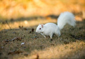 White squirrel burying nuts — Stock Photo