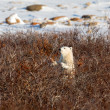 Polar bear cub — Stock Photo #46676257