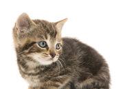 在白色的可爱的虎斑猫咪 — 图库照片