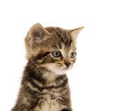 Cute tabby kitten on white — Stok fotoğraf