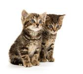 两个虎斑小猫 — 图库照片