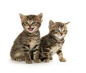 Dos gatitos tabby — Foto de Stock