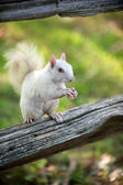 White squirrel in Olney — Stock Photo