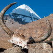 Yak skull - Stock Photo