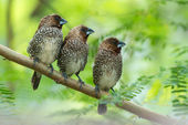 Scaly-breasted Munia — Stock Photo