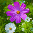 Purple daisy — Stock Photo #23663247