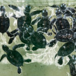 Baby green turtles - Stock Photo