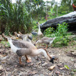 Goose — Stock Photo #33214761