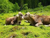 Alps with cows — Stock Photo