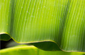 Green Banana leaf in nature — Stock Photo